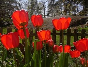 red-tulip-pic